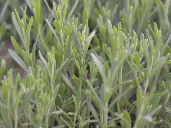 Lavendel, Angustifolia ( normaler)