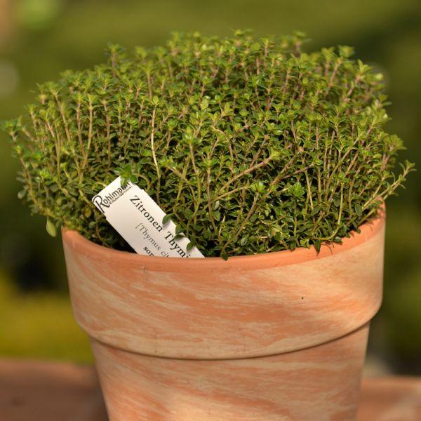 Thymian / Zitronenthymian grün